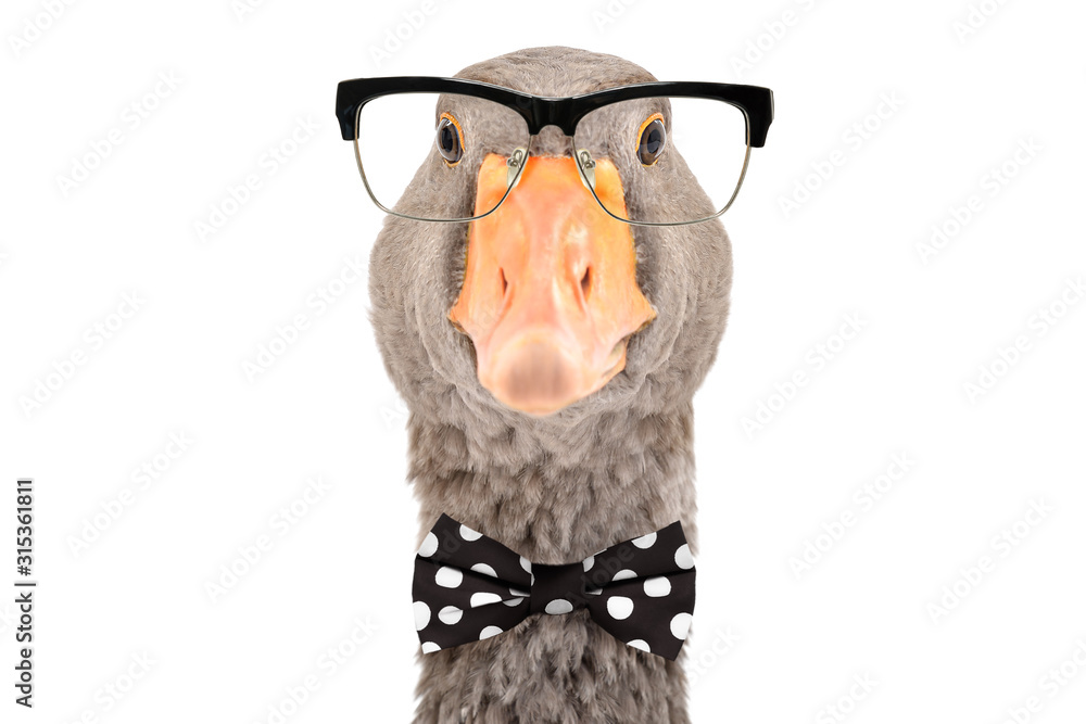 Fototapeta Portrait of intelligent goose with glasses and a bow tie isolated on white background