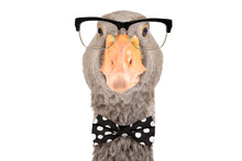 Portrait Of Intelligent Goose With Glasses And A Bow Tie Isolated On White Background