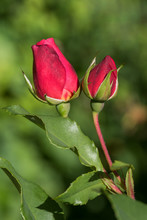 Two Red Rose Buds, Flower Stem With Leaves And Blurry Background