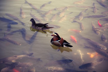A Pair Of Mandarin Ducks Swimm...
