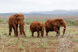 Elephant family in Zimanga Game Reserve in South Africa