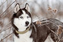 Portrait Of Siberian Husky Bla...