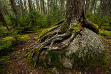 Roots Of A Tree In Algonquin O...