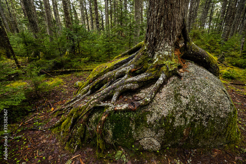 Photo Roots of a tree in Algonquin Ontario Canada