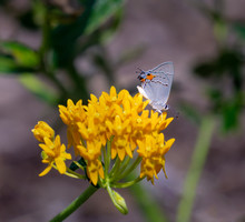 Gray Hairstreak (Strymon Melinus) Feeding On Milkweed.  This Species Of Butterfly Engages In Deception By Coloration And Structures On Its Wings To Pretend Its Head Is At The End Of Its Wings