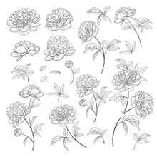 Peonies Bud Collection. Elements Of Peony Isolated On White Background. Bouquet Of Peonies. Flower Isolated Against White. Beautiful Set Of Flowers. Vector Illustration.