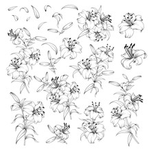 Linear Style Set Of White Lilies, Hand Drawn Contour Illustration Of Flowers Isolated On A White Background. White Lily Collection. Vector Illustration.