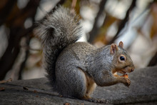 Fox Squirrel Sitting On Concre...
