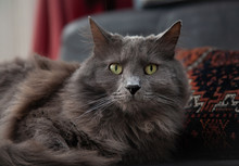 Look Into My Eyes: Nebelung Cat Lying On A Cushion
