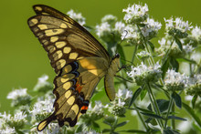 Giant Swallowtail On Hairy Mountainmint Flowers