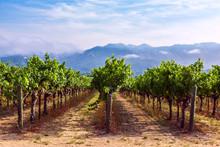 Rows Of Grapes Growing At A Vineyard In Napa Valley, California