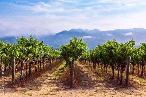 Photo Rows of grapes growing at a vineyard in Napa Valley, California