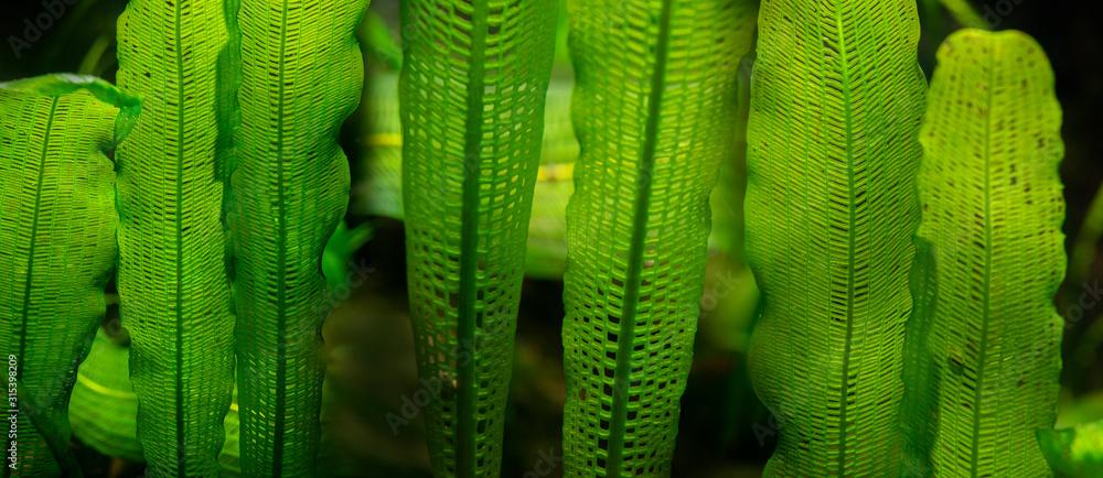 Fototapeta Aponogeton madagascariensis aquarium plant close up