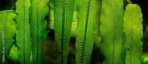 Fototapeta Aponogeton madagascariensis aquarium plant close up obraz