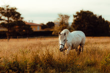 Side View Of White Well-groomed Horse On Countryside Pasture Beside Green Lush Tree During Daylight