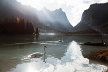 Landscape Of White Swans Swimm...