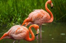 Wild Pink Flamingos Standing I...