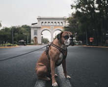 Serious Boxer Dog In Harness W...