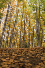 Trees Among Ground Spangled Colorful Fallen Leaves With Autumn Forest On Blurred Background