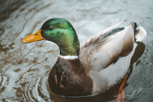 Graceful Mallard Duck Swimming In Dark Water With Ripples In Tollymore Forest Park On Northern Ireland