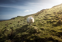 White Sheep Grazing On Hill Wi...
