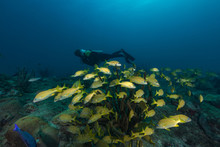 Diver With Aqualung Studying E...
