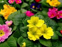 Multicolor Primrose (primula V...