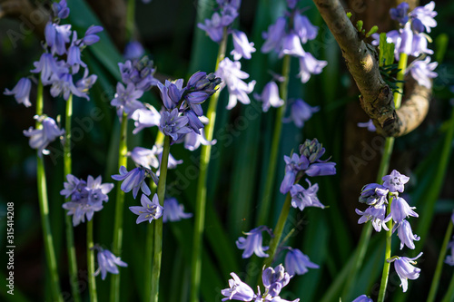 Fotomural You can almost smell the fragrance of these beautiful Bluebells (Hyacinthoides n