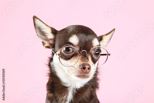 Fototapeta Chihuahua dog in eyeglasses on pink background obraz