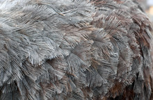 Ostrich Feathers On Ostrich Cl...