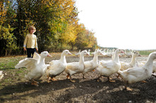 Boy With Domestic Ducks On Meadow