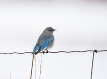 Mountain Bluebird In Winter