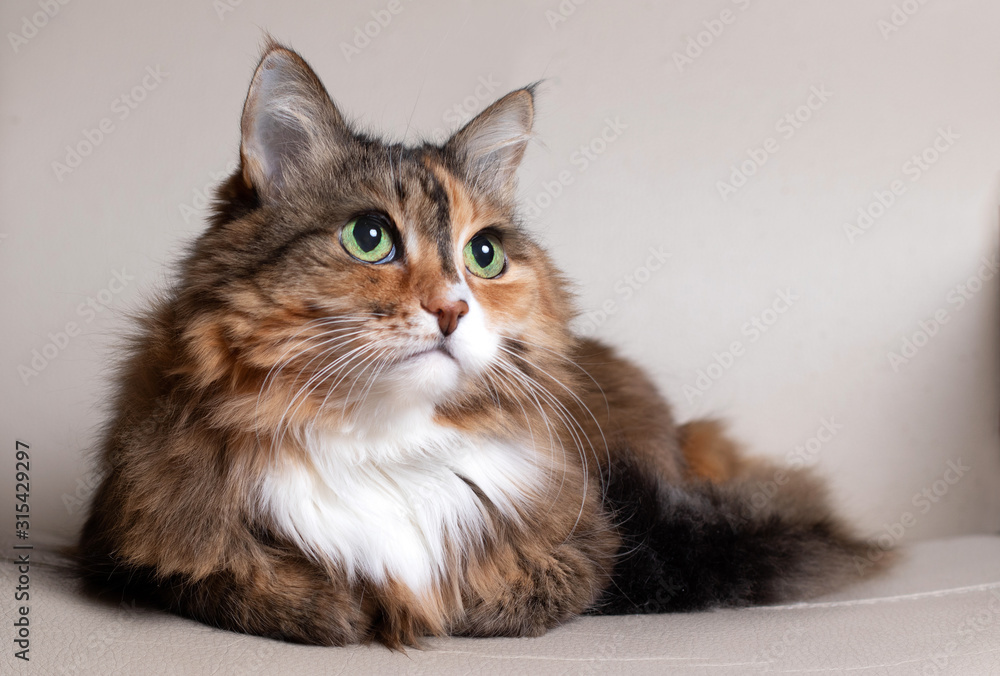 Fototapeta Domestic Long Hair Cat. Close-up of a red cat looking at the camera. A beautiful old cat with green, intelligent eyes. The cat's coat is tricolored