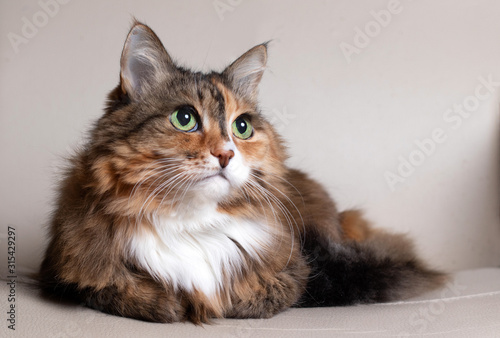 Obraz Domestic Long Hair Cat. Close-up of a red cat looking at the camera. A beautiful old cat with green, intelligent eyes. The cat's coat is tricolored - fototapety do salonu