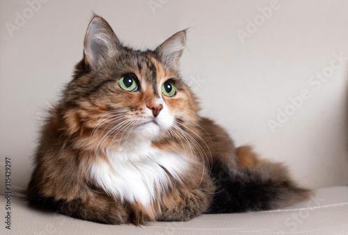 Domestic Long Hair Cat Wallpaper Mural