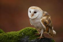 Barn Owl Sit On Moss In Autumn...