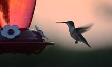 Hummingbird Hovering In Air Ne...