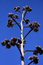 Agave Cactus Bloom Against Clear Blue Sky  Inside Big Bend National Park