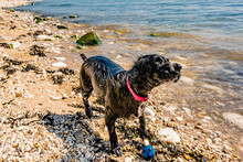 Cocker Spaniel Shaking At The Beach