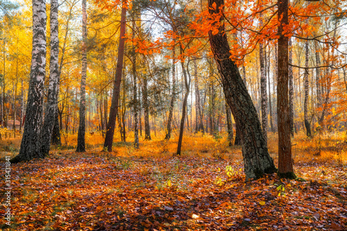 Fototapety, obrazy: Sunny autumn day in the forest.