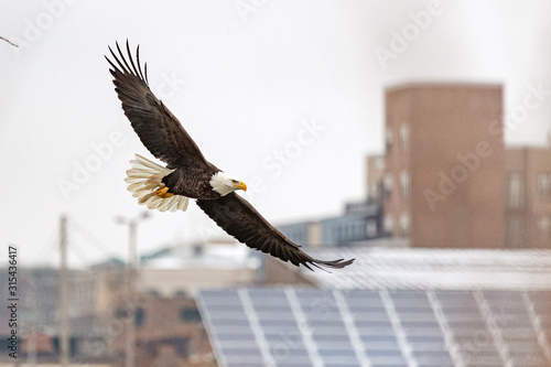A bald eagle hunts over the Iowa River in downtown Iowa City on Monday, Jan Canvas Print