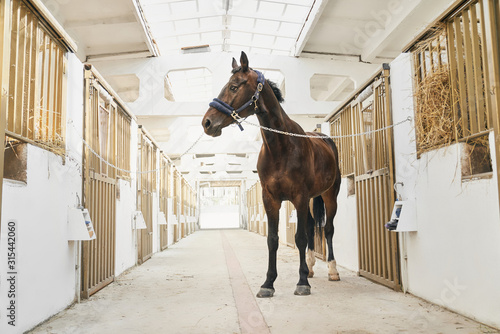 Obraz Full length portrait of strong purebred horse in stable - fototapety do salonu