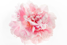 Fresh Peony Flower On The White Background