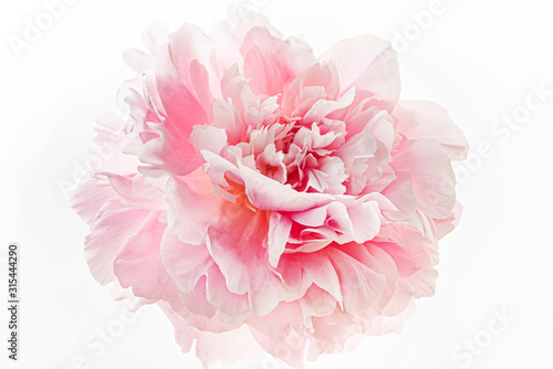 fresh peony flower on the white background Canvas Print