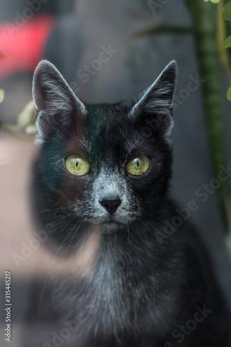 lycan cat