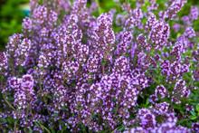 Garden Thyme, English Thyme, Common Thyme (Thymus Vulgaris), Blooming