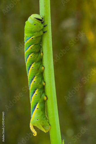 Photo Caterpillar of the sphinx of the skull, Acherontia atropos, climbing the stem of its nutritious plant
