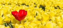 Panorama Of A Single Red Tulip Amongst Yellow Tulips