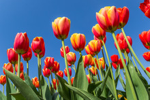 Yellow And Red Tulips Against ...