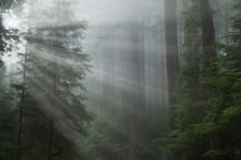 Landscape Of Coastal Redwood F...
